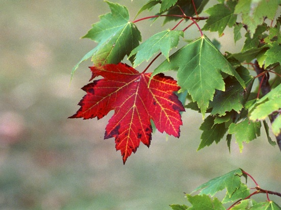 red-maple-tree1